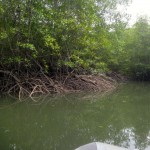 FirstMangroveElEncanto-150×150